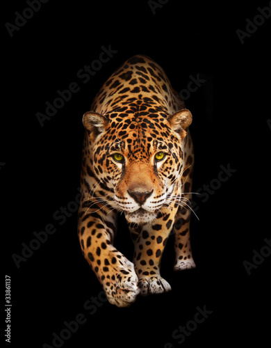Photo Stands Panther Jaguar in darkness - front view, isolated