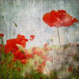 grunge poppies background