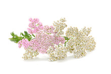 Yarrow (Achillea) Flowers Isol...