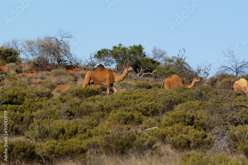 Fotografie, Obraz Kamel im Outback