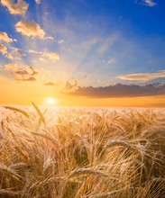 Wheat Field At The Sunset