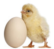 Chick with egg, 2 days old, in front of white