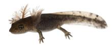Fire Salamander Larva Showing ...