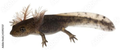Fire salamander larva showing the external gills