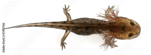 Fotografía  Fire salamander larva showing the external gills