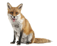 Red Fox, Vulpes Vulpes, 4 Year...