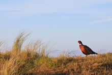 Pheasant Male Bird Standing On A Hill