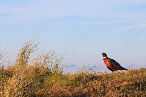 Stampa su Tela Pheasant male bird standing on a hill