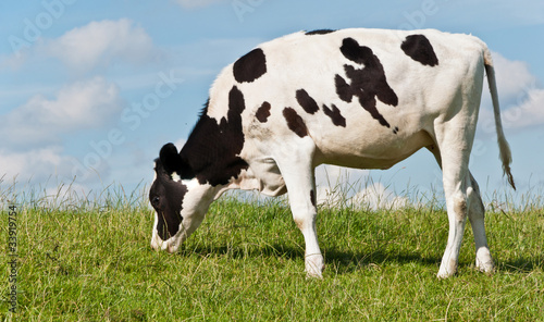 Staande foto Koe Young black and white cow grazing at grass