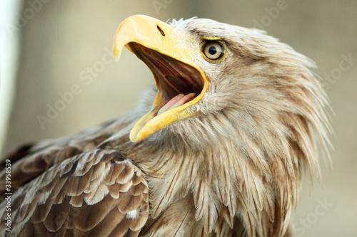 In de dag Eagle Sea eagle with open beak, eagle, Haliaeetus albicilla