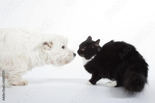 Láminas  face à face du chat et du chien - westie chat de gouttière