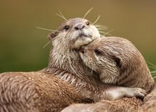 Oriental Short-Clawed Otters Cuddling
