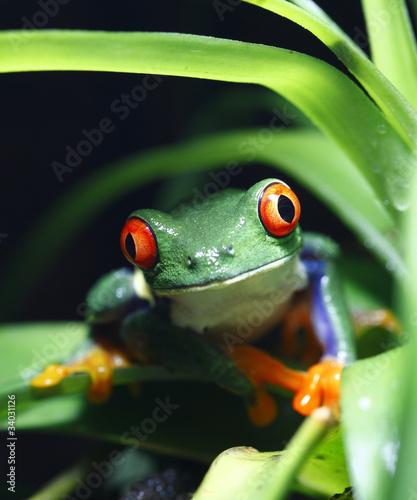 Tuinposter Kikker Red-Eyed Tree Frog