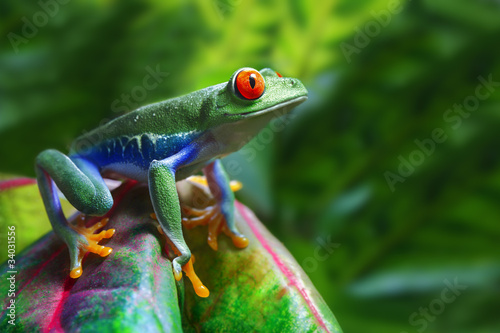Tuinposter Kikker Red-Eyed Tree Frog