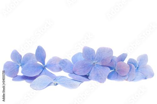 Hortensia pétales d'hortensias bleus
