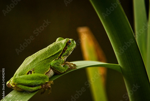 Fotografie, Obraz  żaba