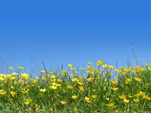 Buttercups In Field