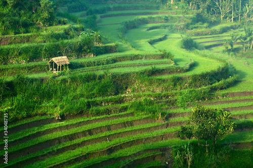 Foto auf Gartenposter Reisfelder Rice