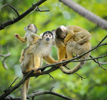 Black-capped Squirrel Monkeys ...