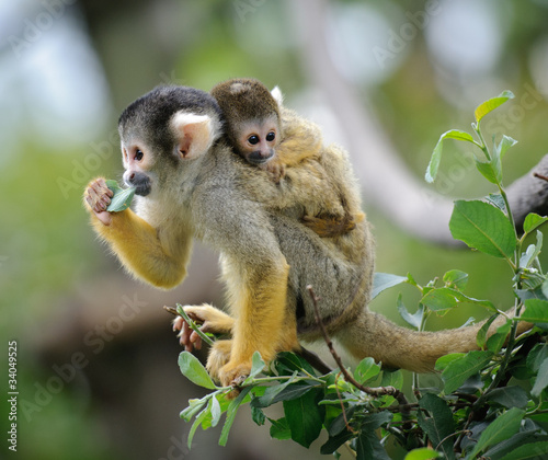 Staande foto Aap Black-capped squirrel monkey sitting on tree branch with its cute little baby with forest in background
