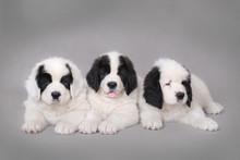 Three Little Landseer Puppies Portrait