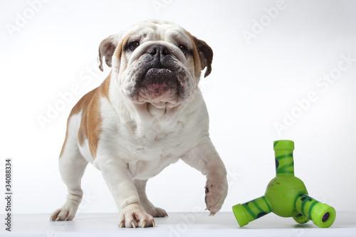 Fotografie, Obraz  bulldog levant la patte vers son jouet