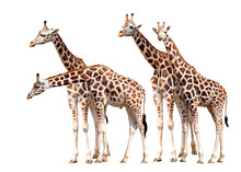 Giraffes Isolated