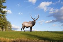 A Bull Elk On A Grassy Hillsid...