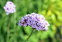 Pretty Verbena Flower