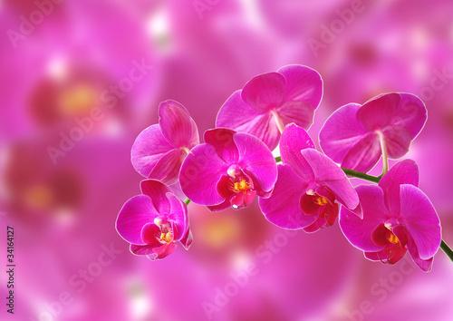 rozowa-orchidea