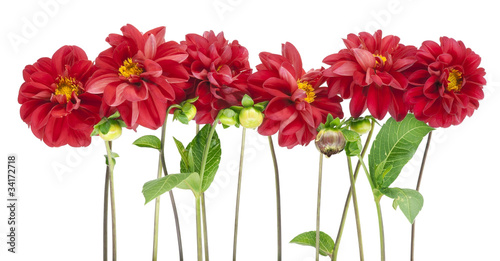 Foto Border from darkly red dahlias