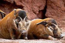 Red River Hog, Potamochoerus Porcus Pictus