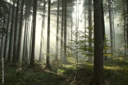 Papiers peints Foret brouillard Coniferous forest lit by the morning sun on a foggy autumn day