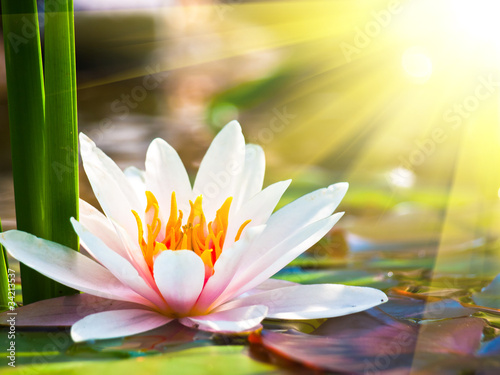 Fototapeta beautiful water lily in the light obraz