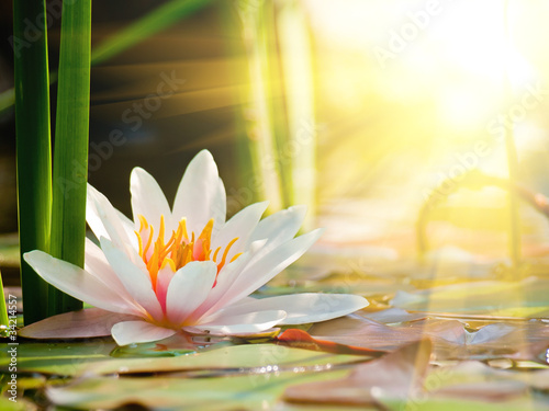 Poster de jardin Nénuphars beautiful water lily in the light