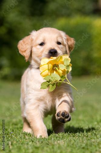 Foto  Golden Retriever Welpe mit Blume