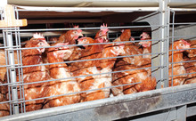 Egg Laying Chicken In Cage In Eggs Farm