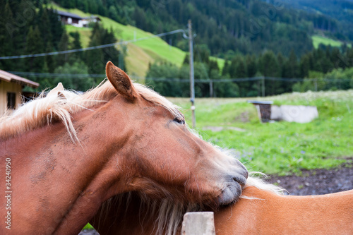 Fotografie, Obraz  Coppia di cavalli che si strofinano la criniera
