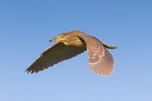 Night Heron Immature In Flight...