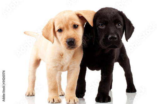 Photo two cute labrador puppies