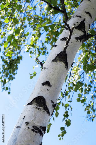 Tuinposter Berkbosje barrel of birch with green foliage on background of blue sky