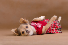 Funny Chihuahua Puppy Wearing Red Kilt Lying