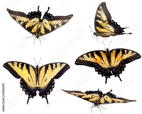 Valokuva Eastern Tiger Swallowtail