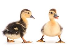 Brown Duckling