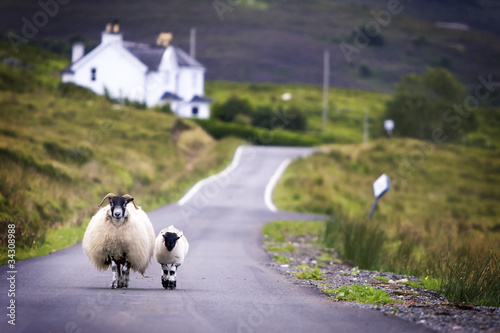 Fotobehang Schapen Sheep walking with its lamb on road in Scotland.