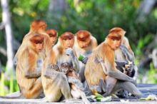 Group Of Proboscis Monkeys