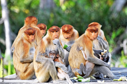 Foto op Aluminium Aap Group of Proboscis Monkeys