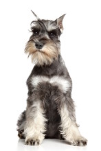 Miniature Schnauzer On White B...