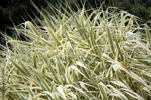 Fotografie, Obraz  Ornamental Grass Carex