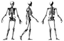 Vector Skeleton Illustration.